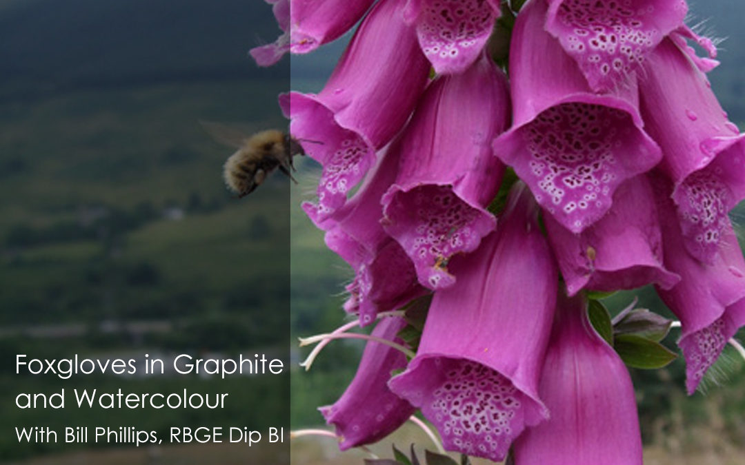 Foxgloves in Graphite and Watercolour With Bill Phillips, RBGE Dip BI